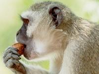 Мавпа. Світлина з сайта http://planetanimal.info