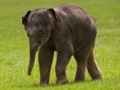 Дитинча індійського слона. Фото (c) AFP
